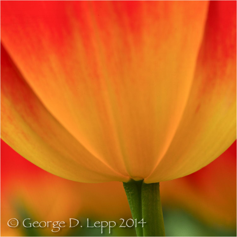 Tulips, Holland. © George D. Lepp 2014 PG-TU-0177