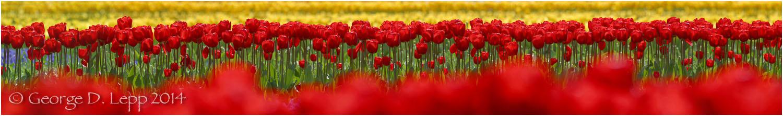 Tulips, Holland. © George D. Lepp 2014 PG-TU-0013