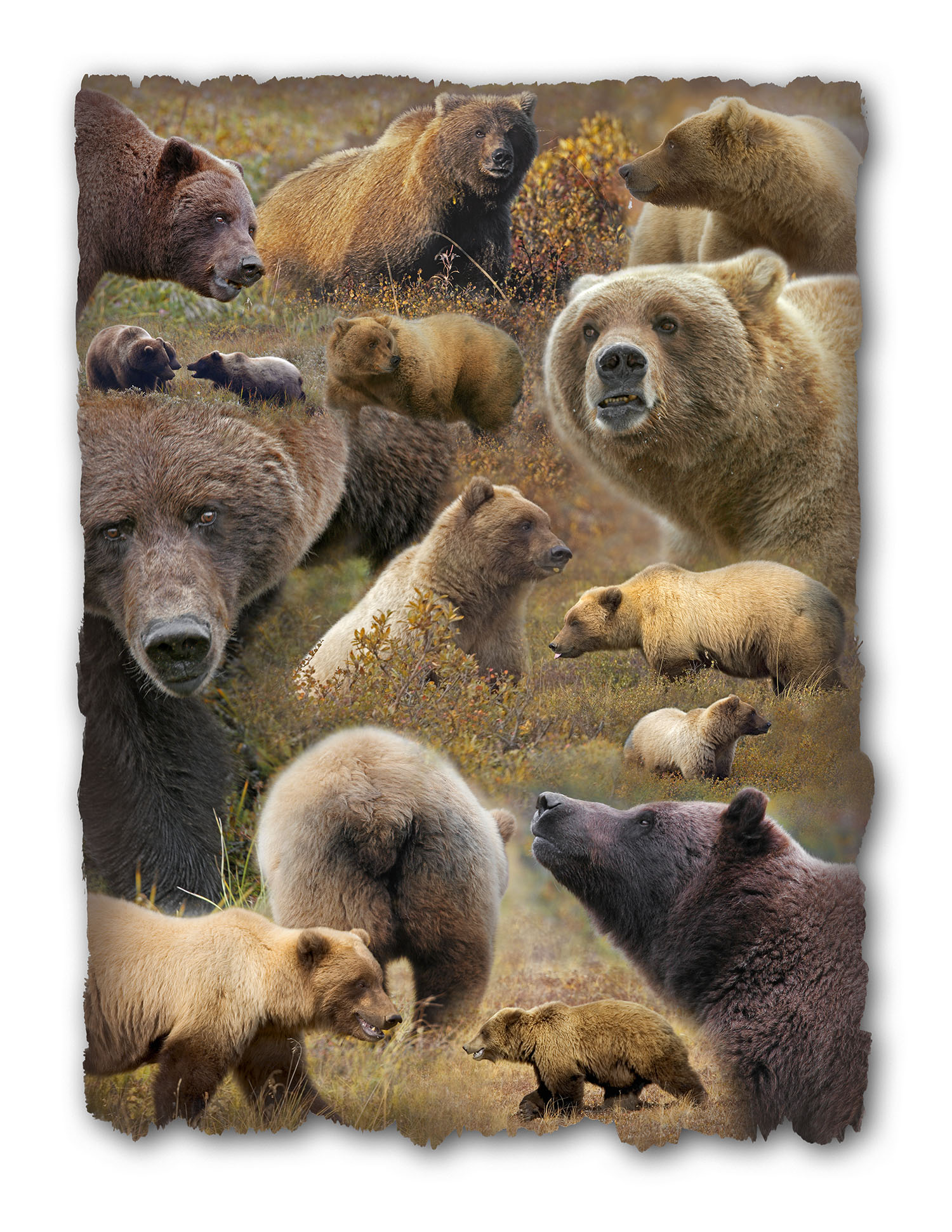 Poster of Grizzly Bears in Denali NP, Alaska. © George D. Lepp 2014  M-BE-GR-0001