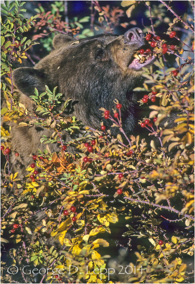 Black Bear, Rose Hips, Yellowstone NP. © George D. Lepp 2014 M-BE-BL-0027