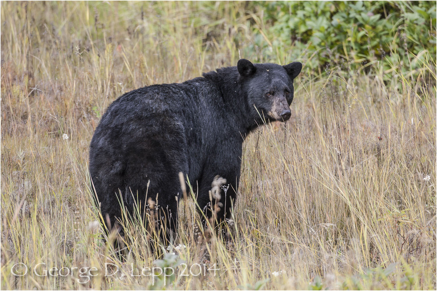 Black Bear, British Columbia, Canada. © George D. Lepp 2014 M-BE-BL-0036