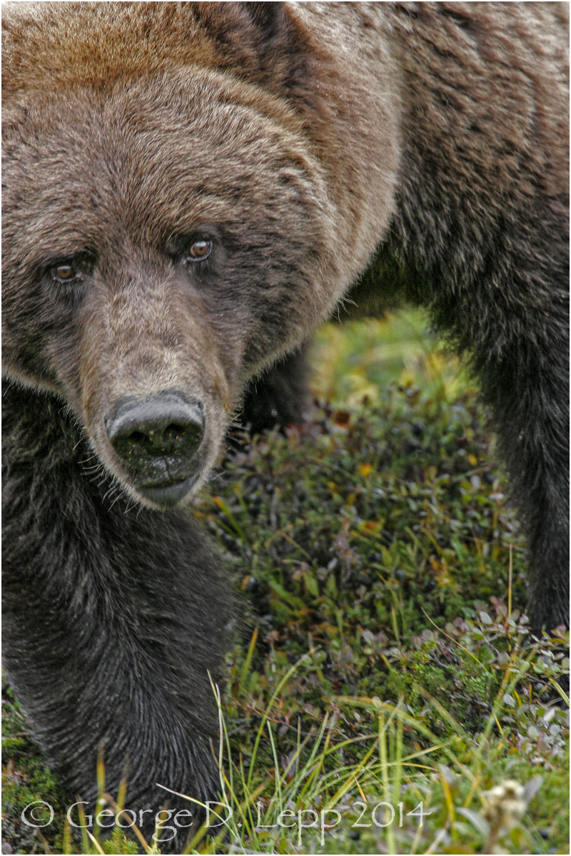 Grizzly Bear, Denali NP, Alaska. © George D. Lepp 2014  M-BE-GR-0028