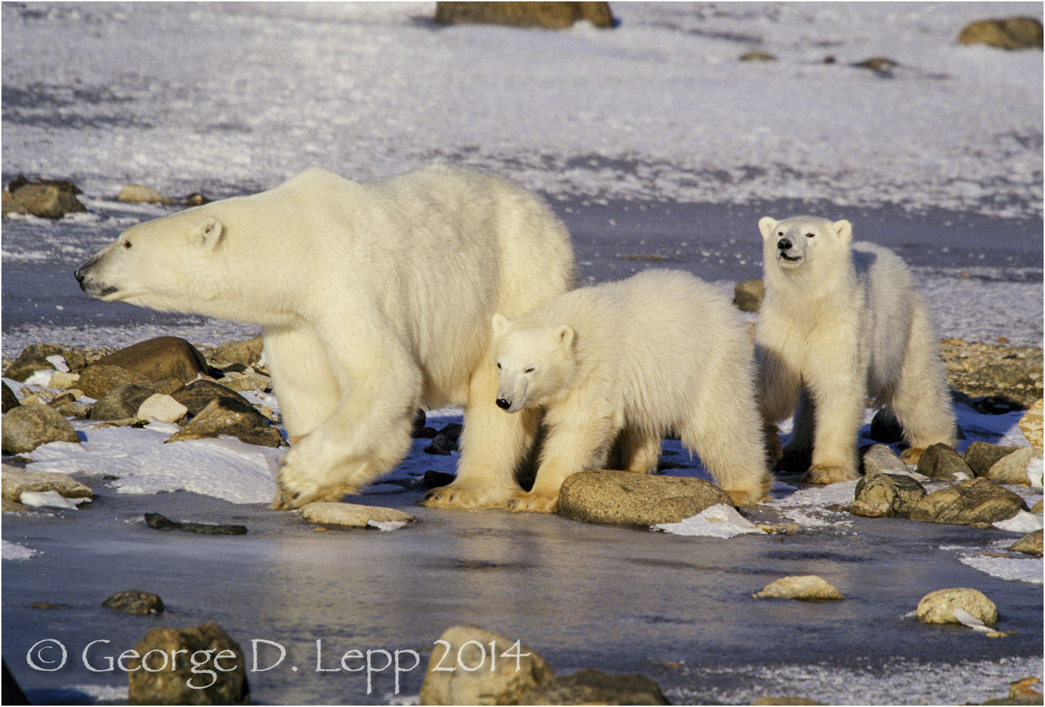 Polar Bear with cubs at edge of Hudson Bay, Manitoba, Canada. © George D. Lepp 2014  M-BE-PO-0067