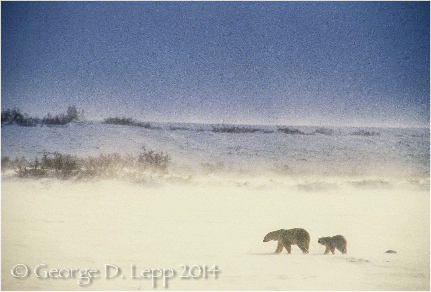 Polar Bear with cub at edge of Hudson Bay, Manitoba, Canada. © George D. Lepp 2014  M-BE-PO-0072