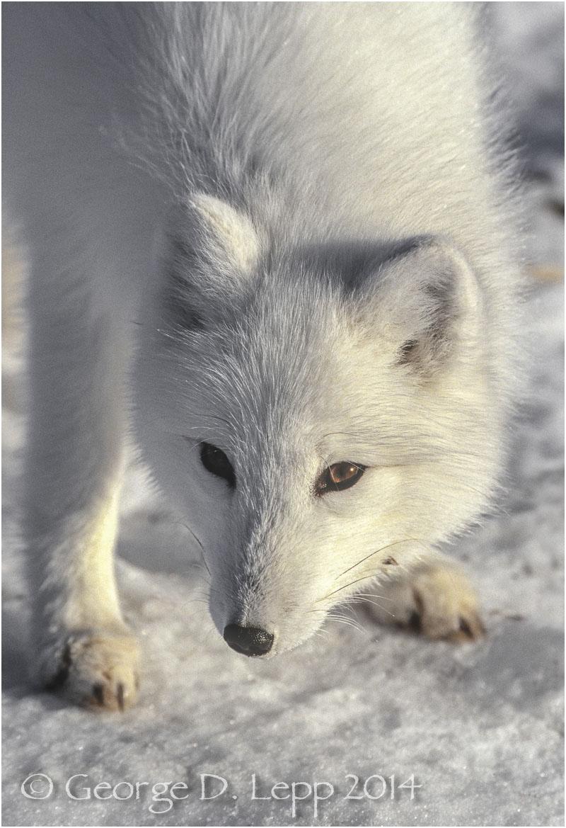 Arctic Fox, Manitoba, Canada. © George D. Lepp 2014 M-FO-AR-0011