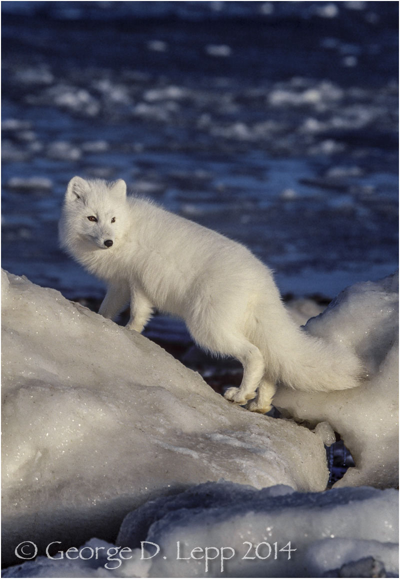Arctic Fox, Manitoba, Canada. © George D. Lepp 2014 M-FO-AR-0008