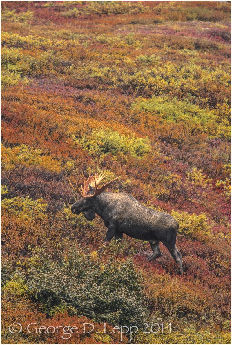 Moose, Denali NP, Alaska. © George D. Lepp 2014 M-MS-0008