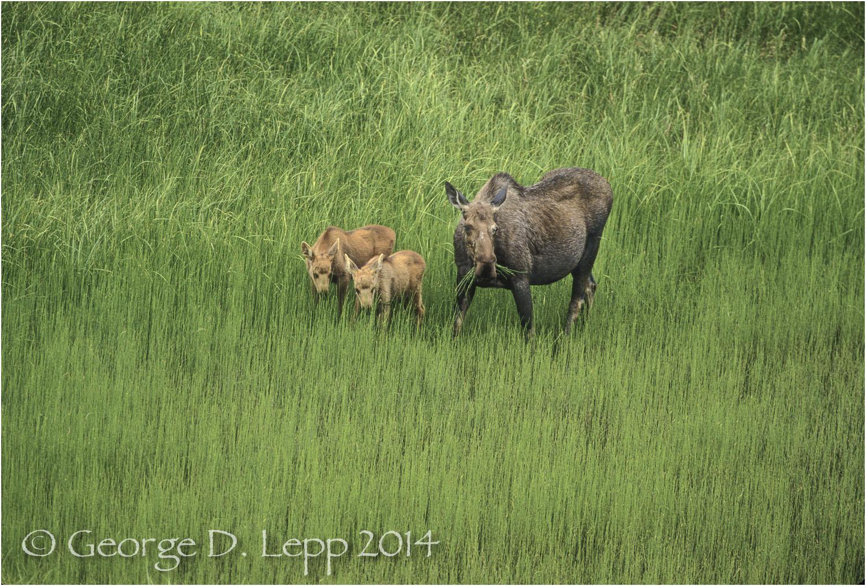 Moose, Denali NP, Alaska. © George D. Lepp 2014 M-MS-0010