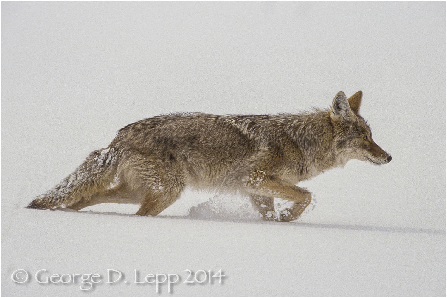 Coyote, Yellowstone N.P., Wyoming. © George D. Lepp 2014  M-CY-0012
