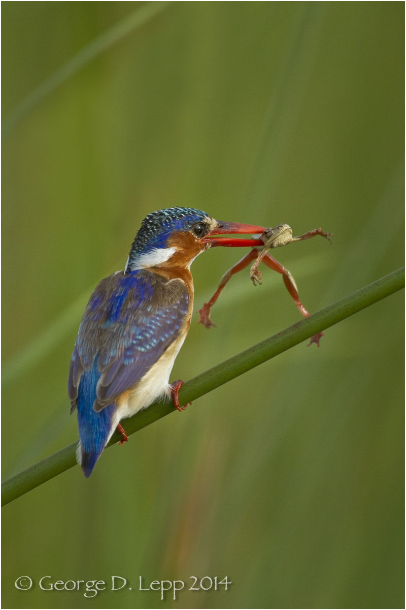 Malachite Kingfisher, Botswana, Africa. © George D. Lepp 2014 B-KF-MA-0002