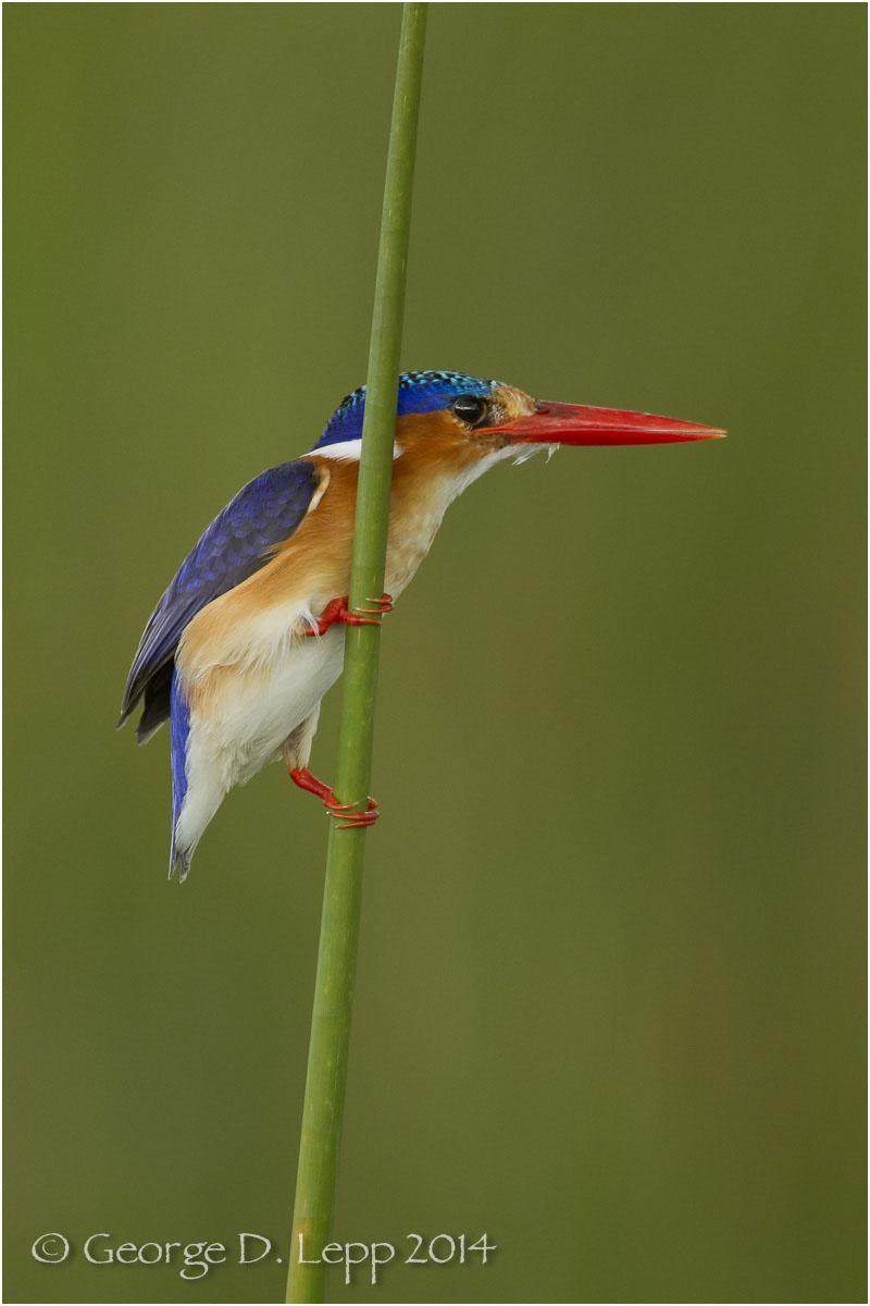 Malachite Kingfisher, Botswana, Africa. © George D. Lepp 2014 B-KF-MA-0003