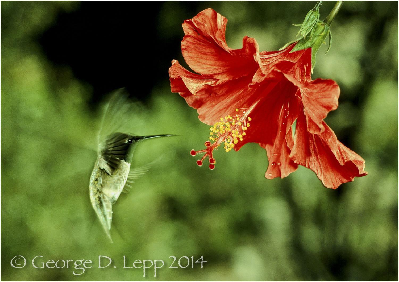 Black-chinned Hummingbird, CA. © George D. Lepp 2014 B-HB-BL-0001