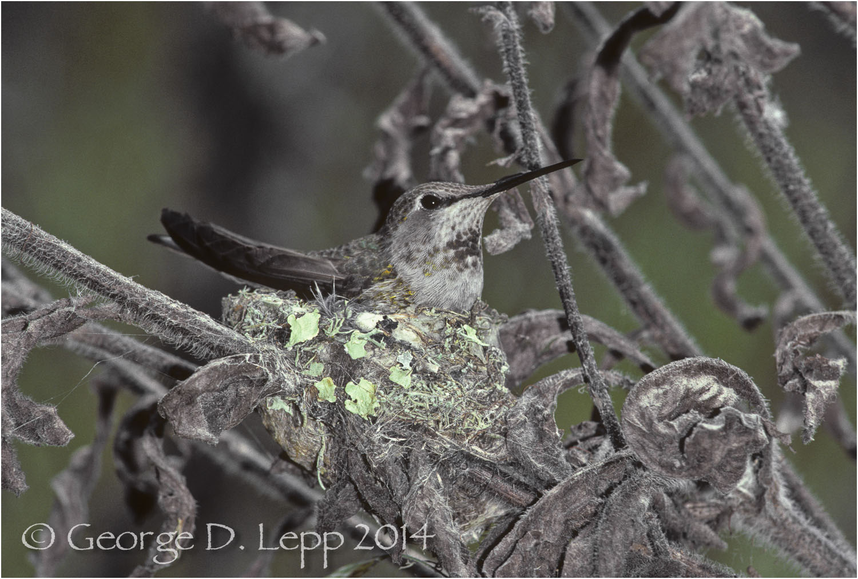 Anna's Hummingbird, CA. © George D. Lepp 2014 B-HB-AN-0002
