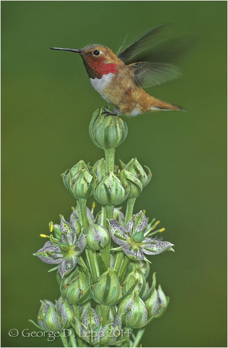 Rufous Hummingbird, CO. © George D. Lepp 2014 B-HB-RU-0005