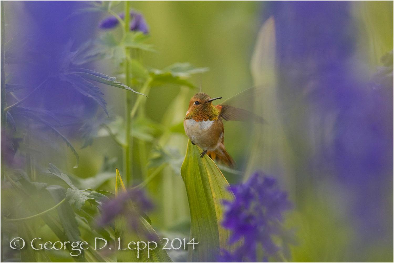 Rufous Hummingbird in larkspur, CO. © George D. Lepp 2014 B-HB-RU-0001