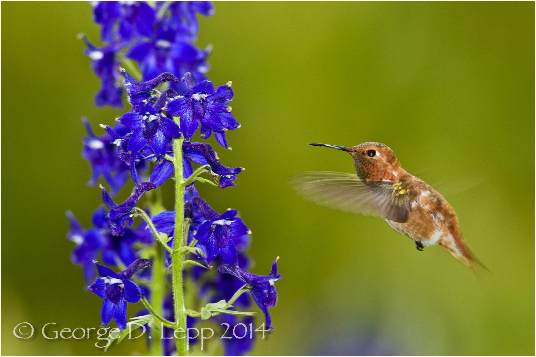 Rufous Hummingbird in larkspur, CO. © George D. Lepp 2014 B-HB-RU-0003