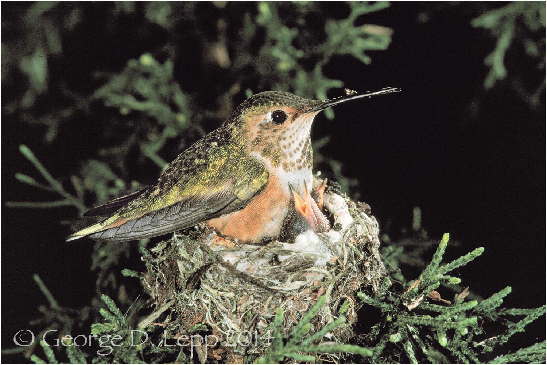 Allen's Hummingbird on nest, CA. © George D. Lepp 2014 B-HB-AL-0001