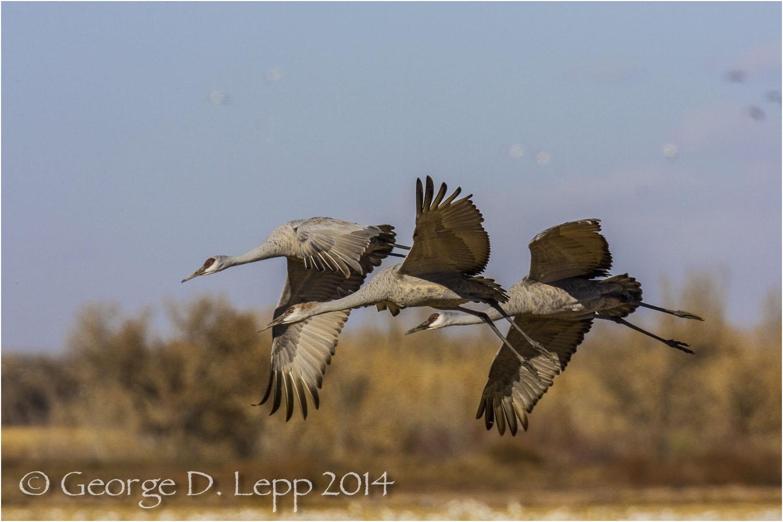 Sandhill Cranes, Bosque del Apache, NM. © George D. Lepp 2014 B-CR-SA-0011