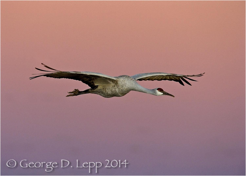 Sandhill Cranes, Bosque del Apache, NM. © George D. Lepp 2014 B-CR-SA-0020