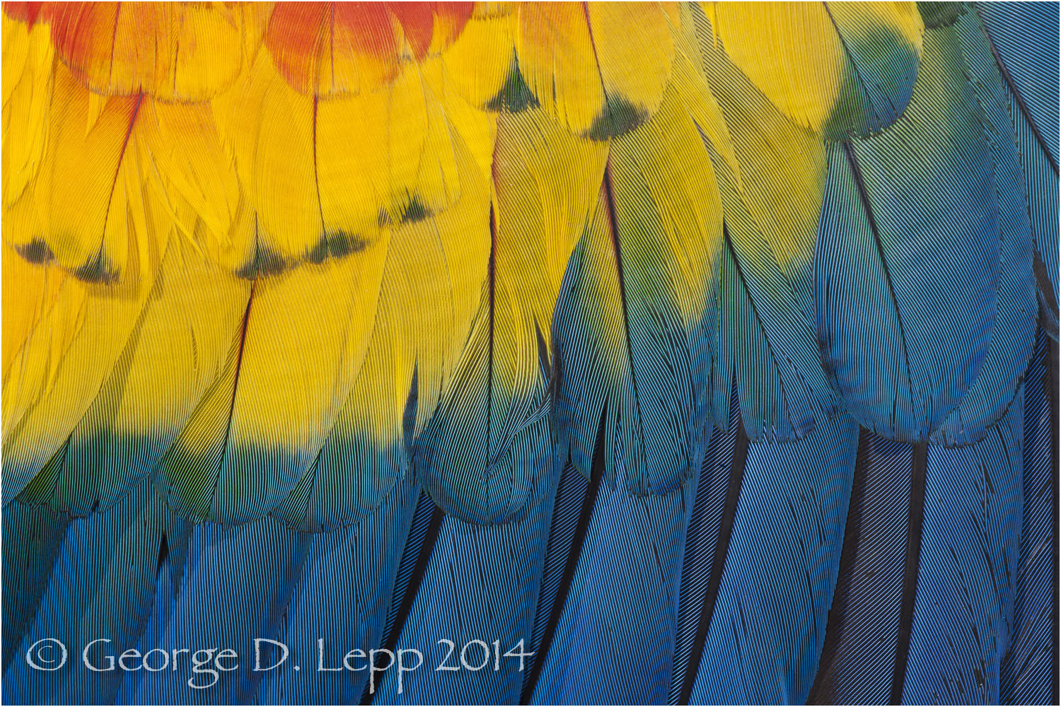 Parrot feathers. © George D. Lepp 2014  B-PA-MA-0044