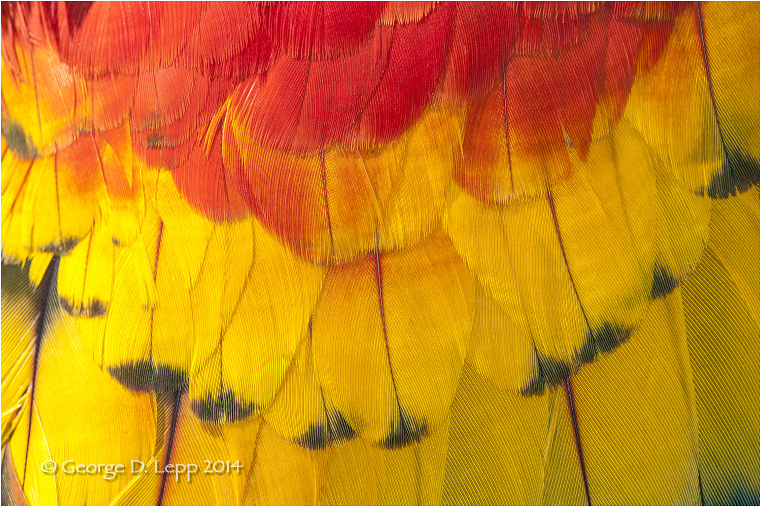 Parrot feathers. © George D. Lepp 2014  B-PA-MA-0046