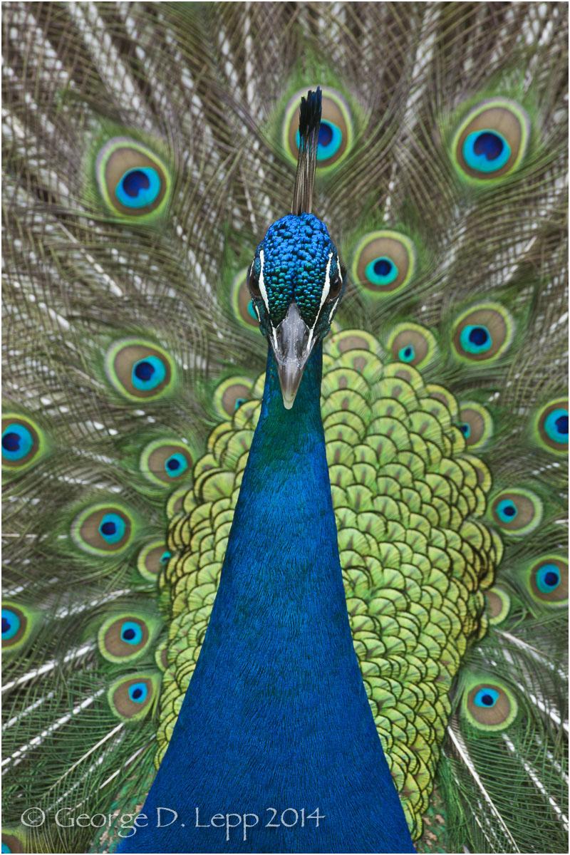 Peacock, Hawaii. © George D. Lepp 2014 B-PC-0015