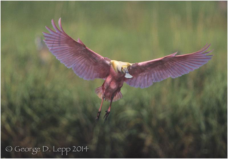 Roseate Spoonbill, Louisiana. George D. Lepp 2014 B-SB-RO-0005