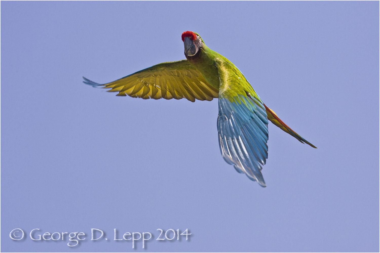Military Macaw, {Captive) CA. © George D. Lepp 2014 BPA-MA-0002