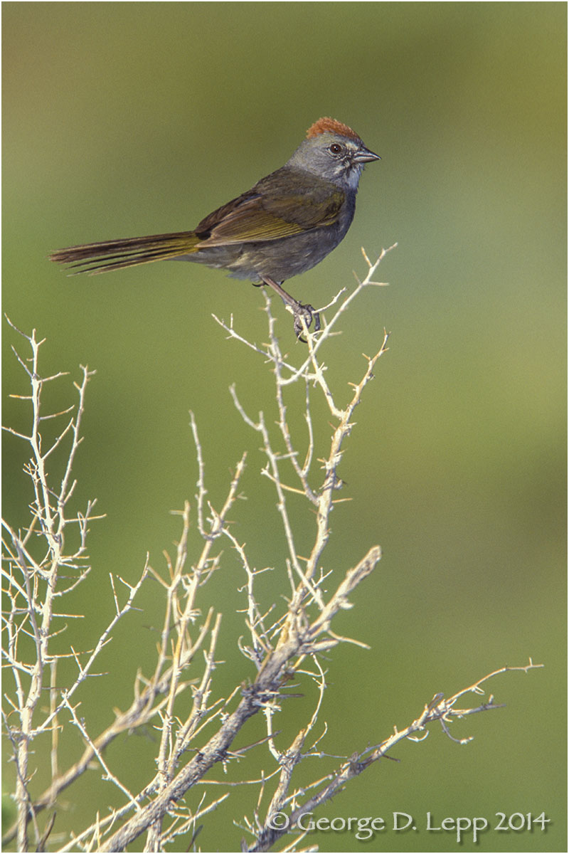 Green-tailed Towhee, CA. © George D. Lepp 2014  B-TO-0001