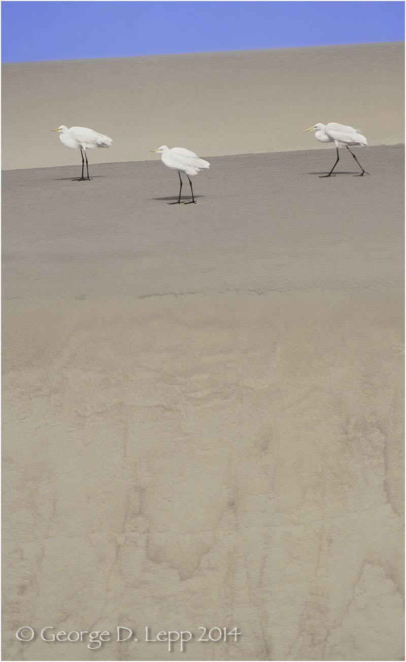 Great Egrets, Morro Bay, CA. © George D. Lepp 2014 B-HR-GE-0003