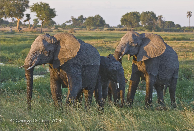 Elephants in Botswana. © George D. Lepp 2010 M-EP-AF-0027