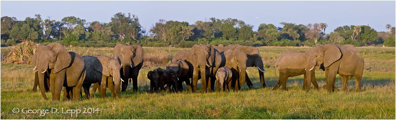 Elephant herd, Botswana, Africa. © George D. Lepp 2014 M-EP-AF-0002