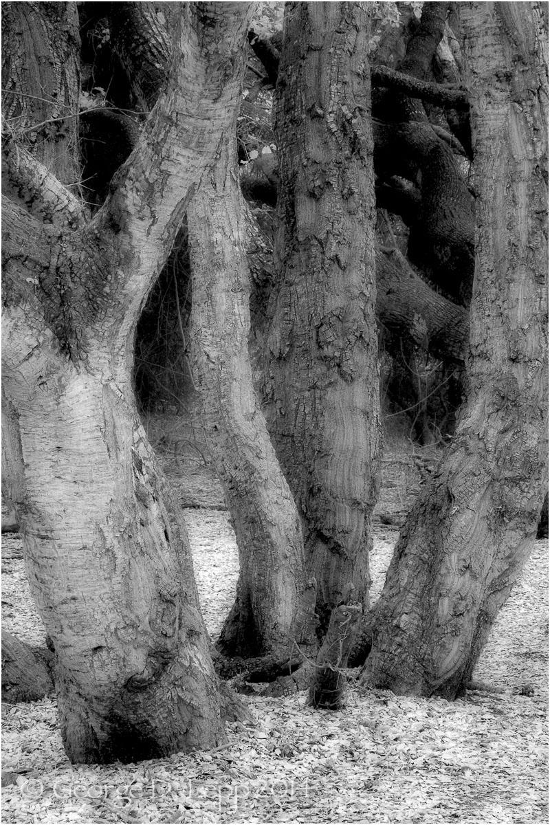Los Osos Oaks State Preserve, CA. IR.    © George D. Lepp 2004 LC-CC-LO-2001