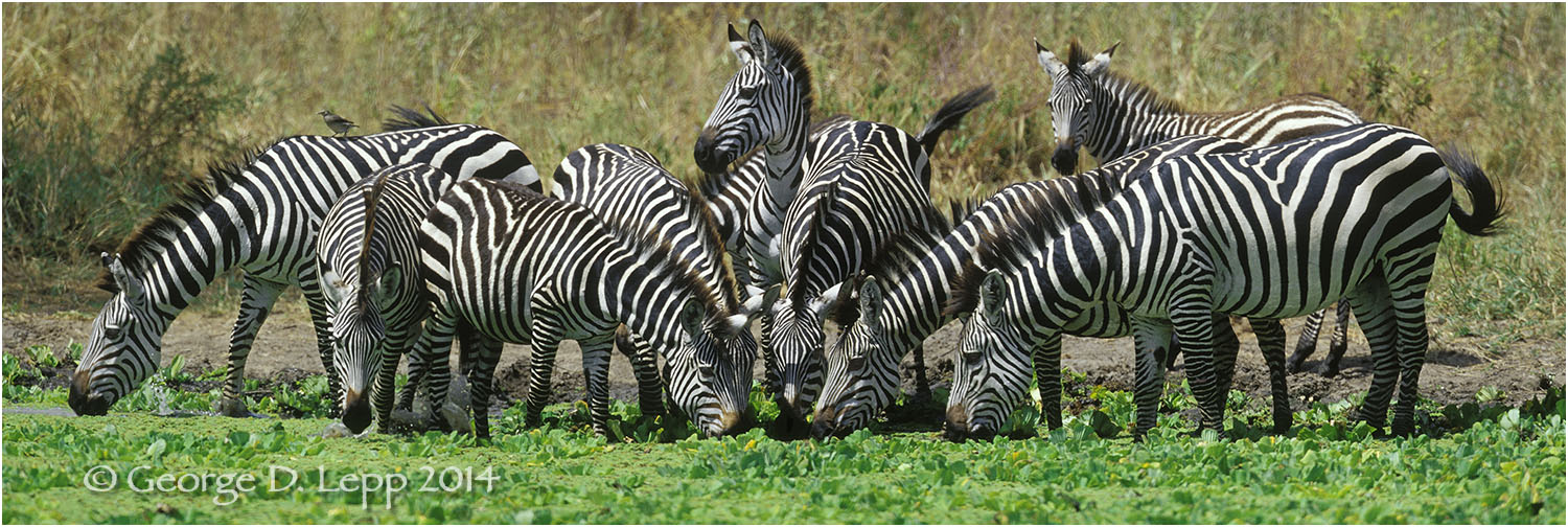 Zebras at watering hole, Tanzania. © George D. Lepp 2014  M-ZE-PL-0002