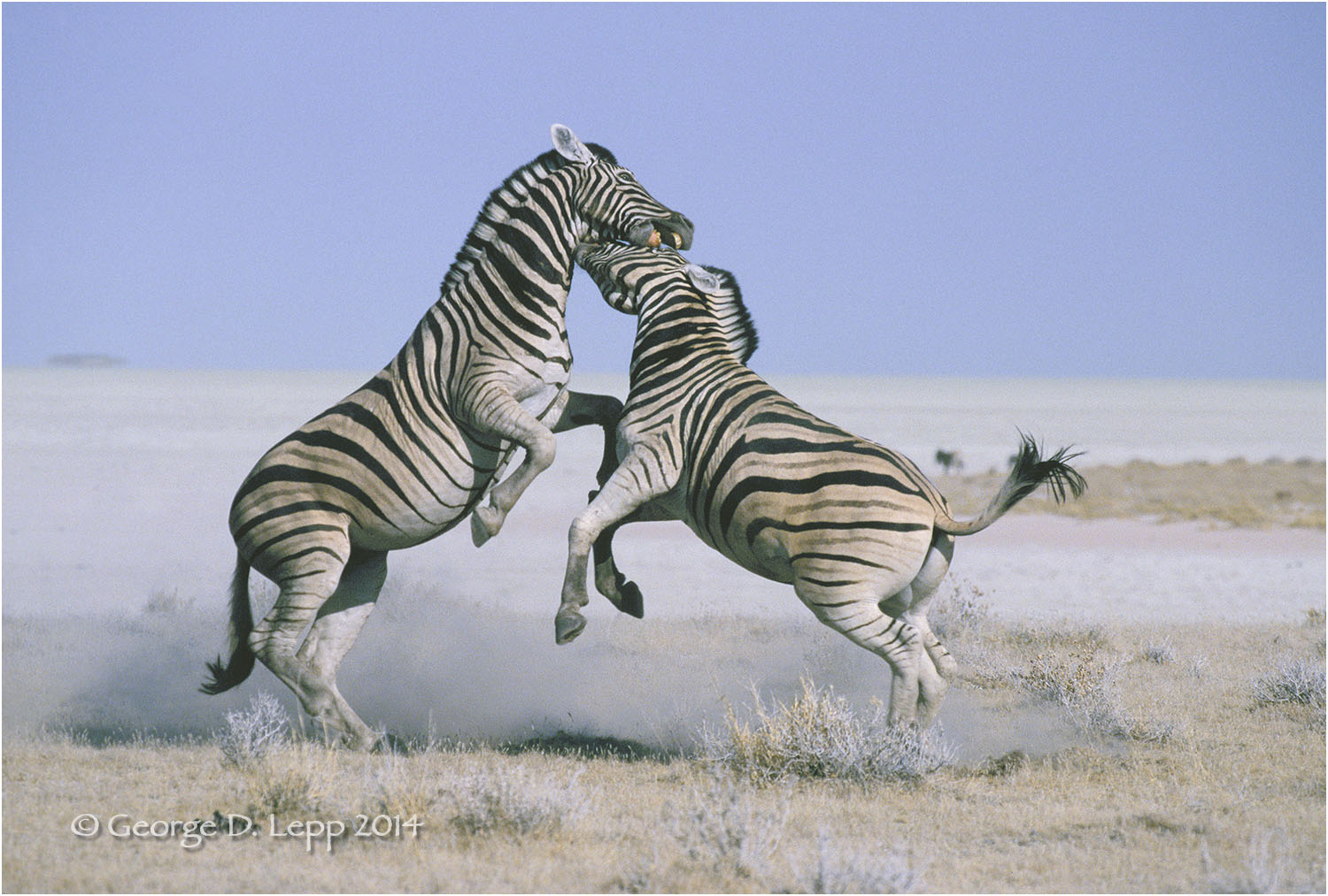 Male zebras fighting, Namibia, Africa. © George D. Lepp 2014  M-ZE-PL-0003