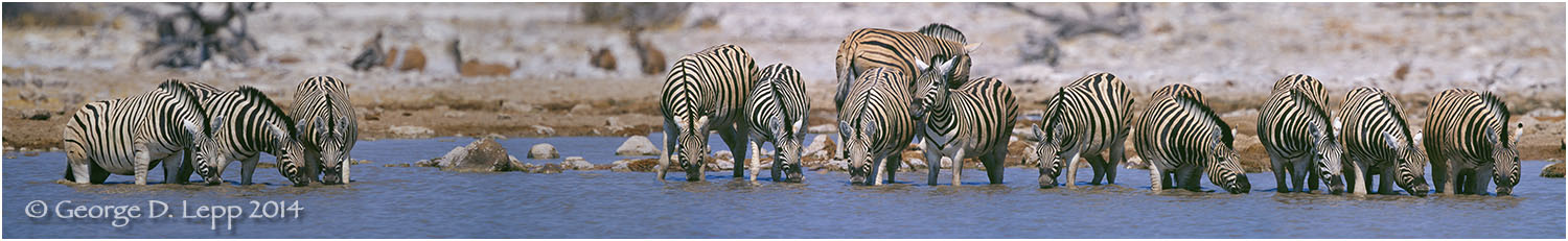 Zebras at watering hole, Tanzania. © George D. Lepp 2014  M-ZE-PL-0004