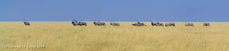 Gemsbok in a savana, Namibia, Africa. © George D. Lepp 2014 M-AN-GE-0005