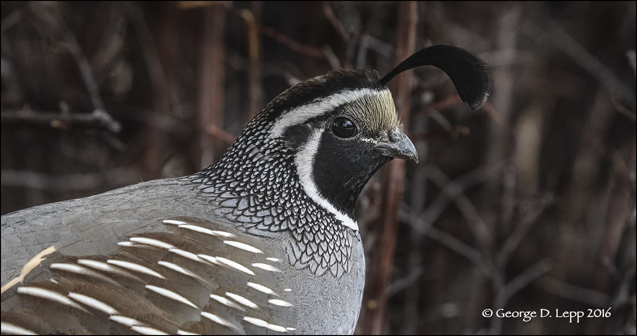 A California quail image captured using an EOS-1D X MK II camera at 60 frames per second. A 25 MB file that makes excellent prints to 17x20 inches