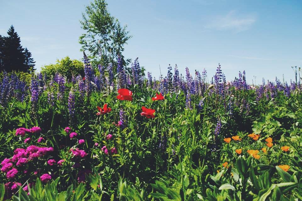 Hood River Lavender Farms in Mt. Hood Oregon.