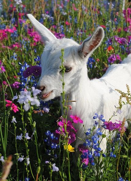 19848-Baby-Goat-With-Wildflowers.jpg