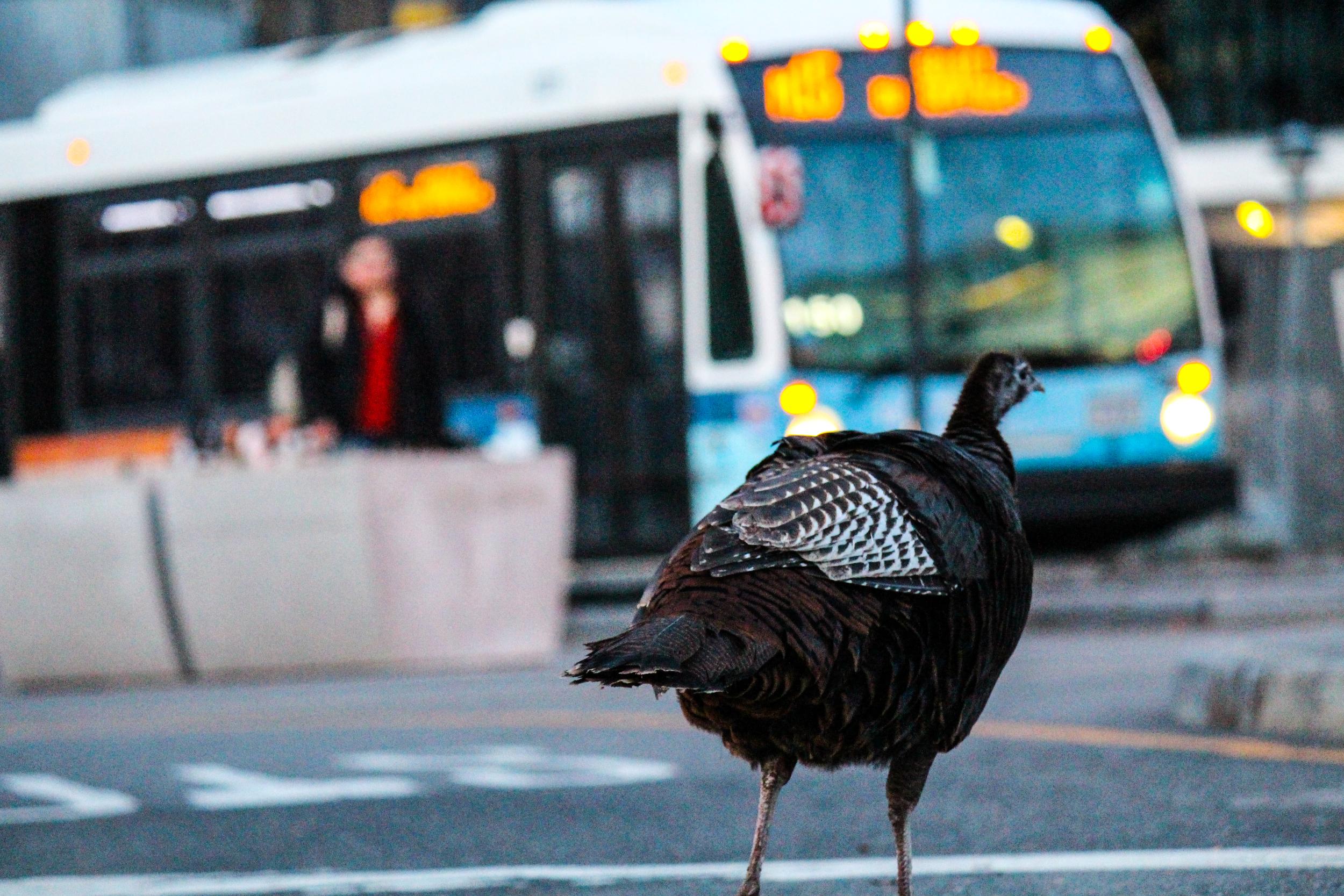 21 - Urban Turkey Explores Manhattan.jpg