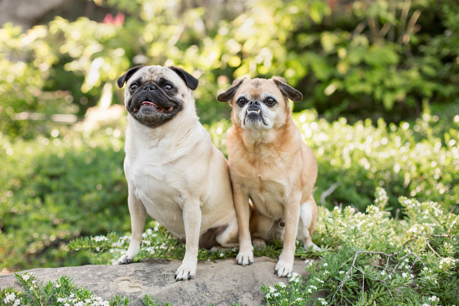 _WebsiteDogs27ShelbyPugslyEdie_077_1500.JPG