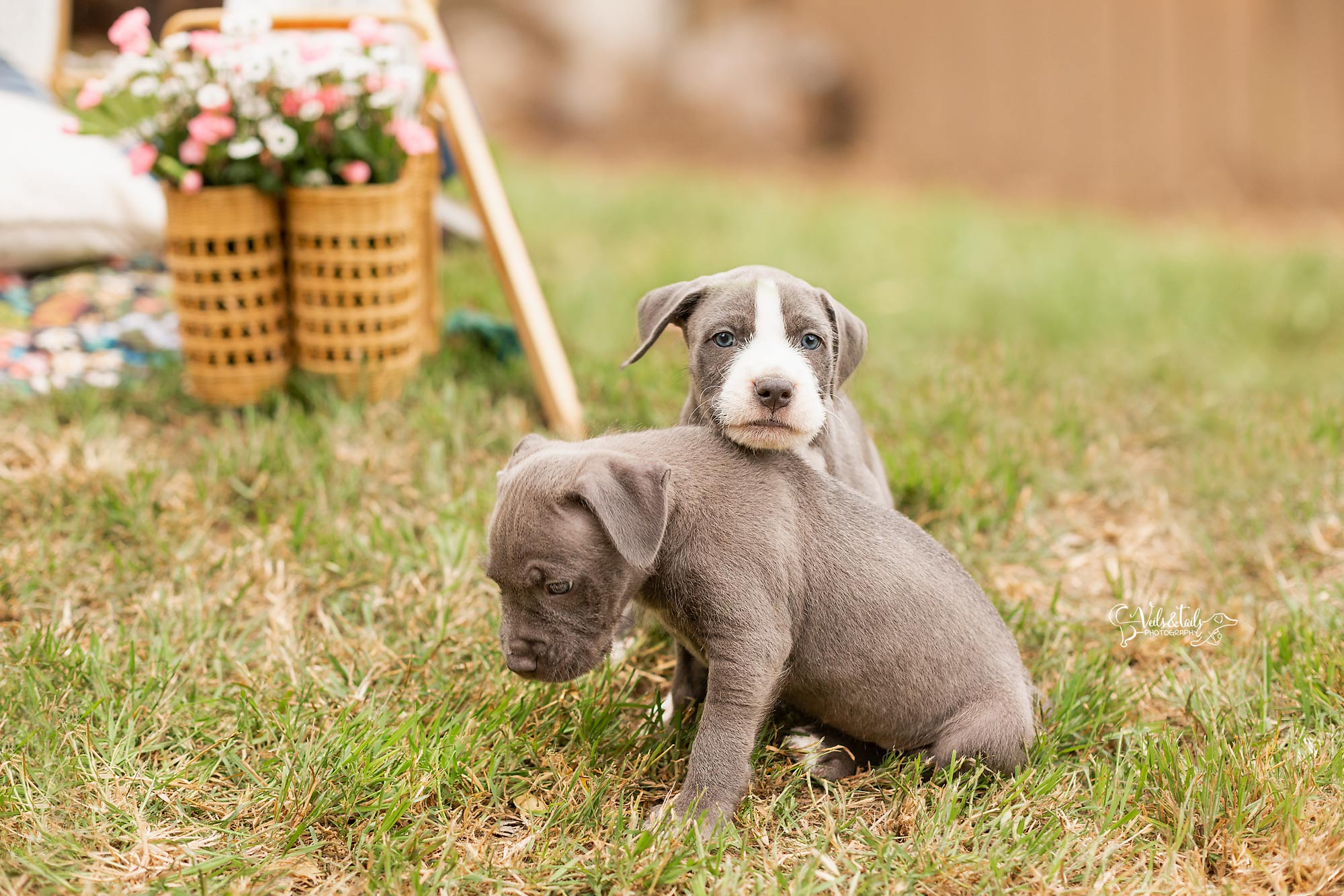 Pitbull Puppies Santa Barbara Photographer