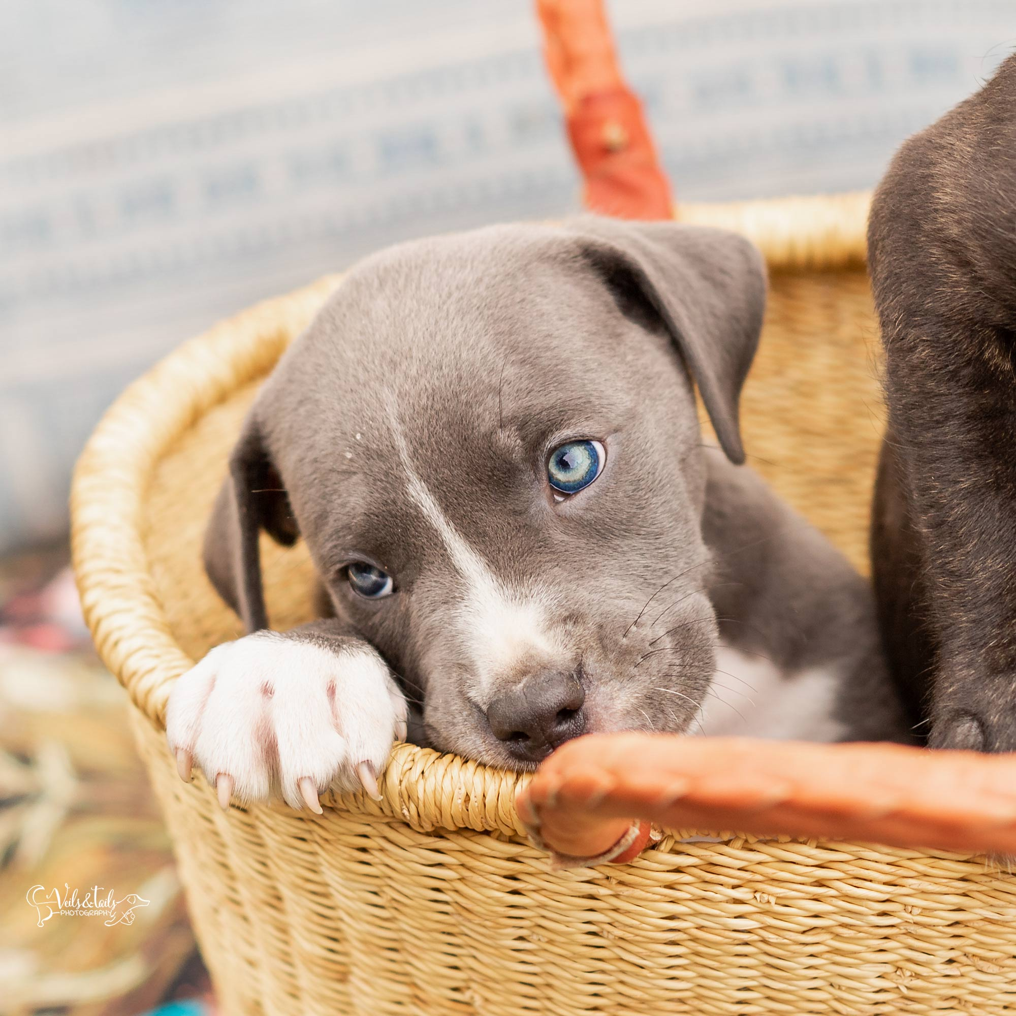 Blue Eyes Puppy Photography Santa Barbara