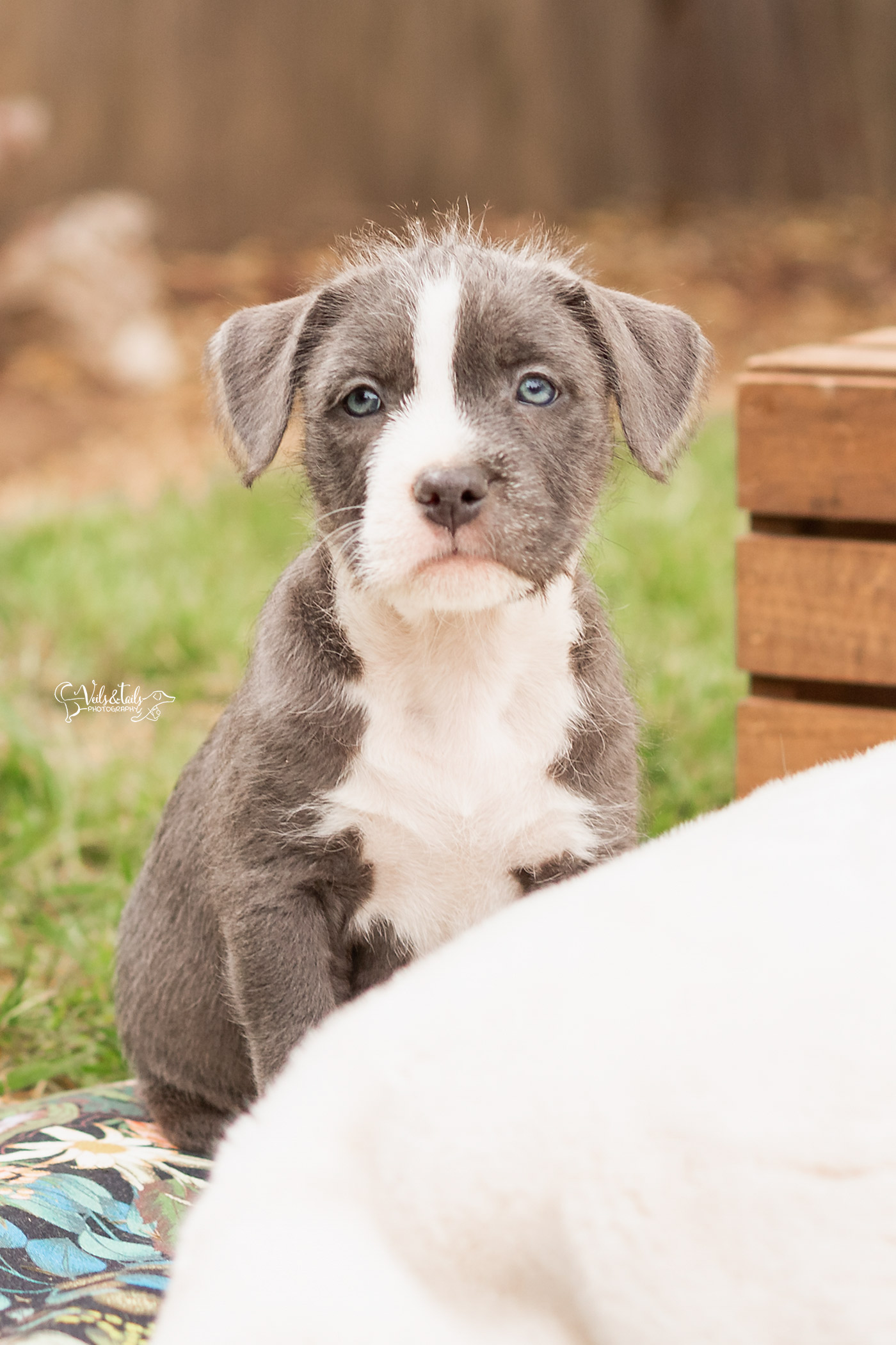 Terrier Pitbull Mix Puppy Santa Barbara Adoptable
