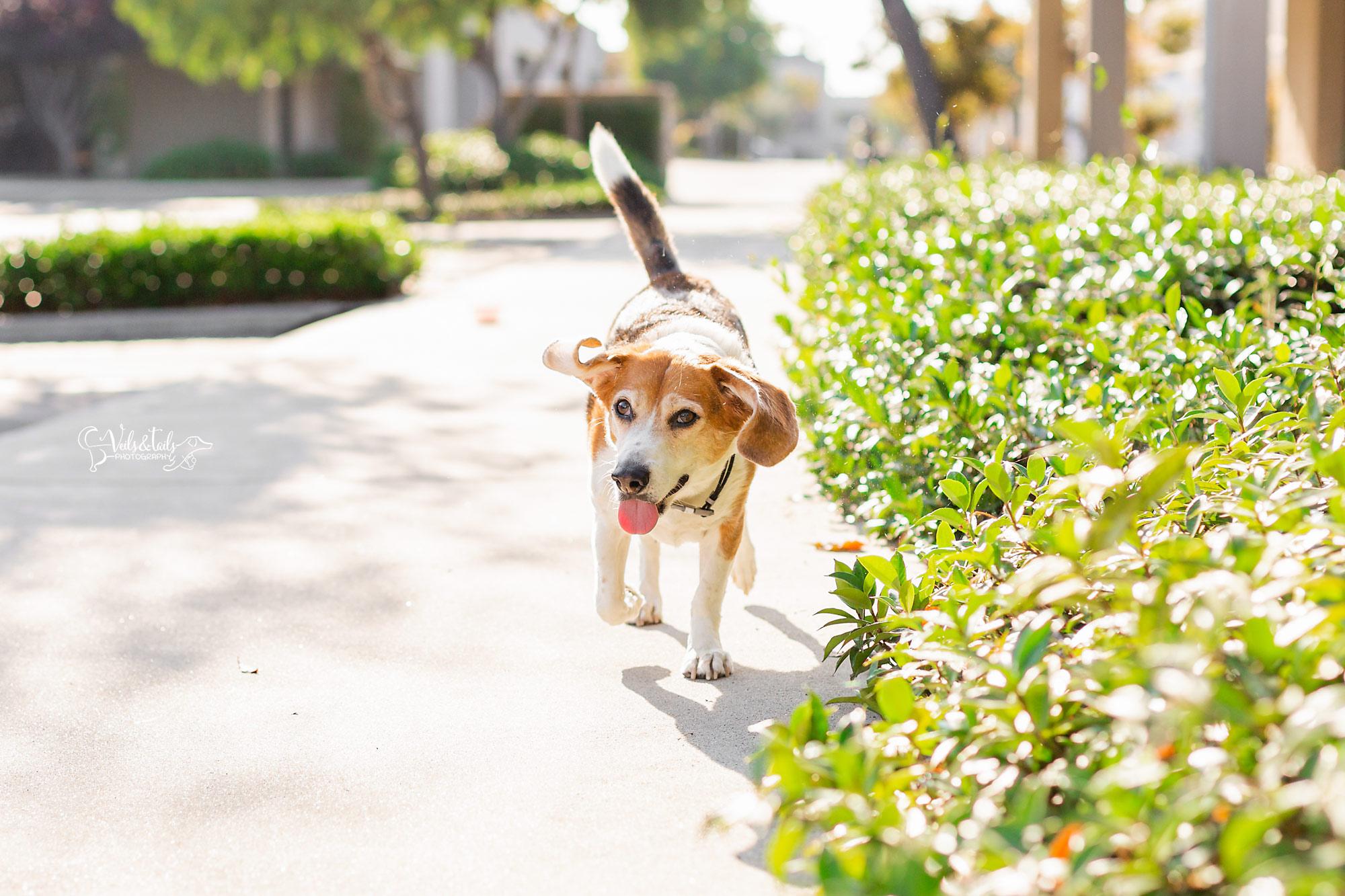 beagle pet photography santa barbara