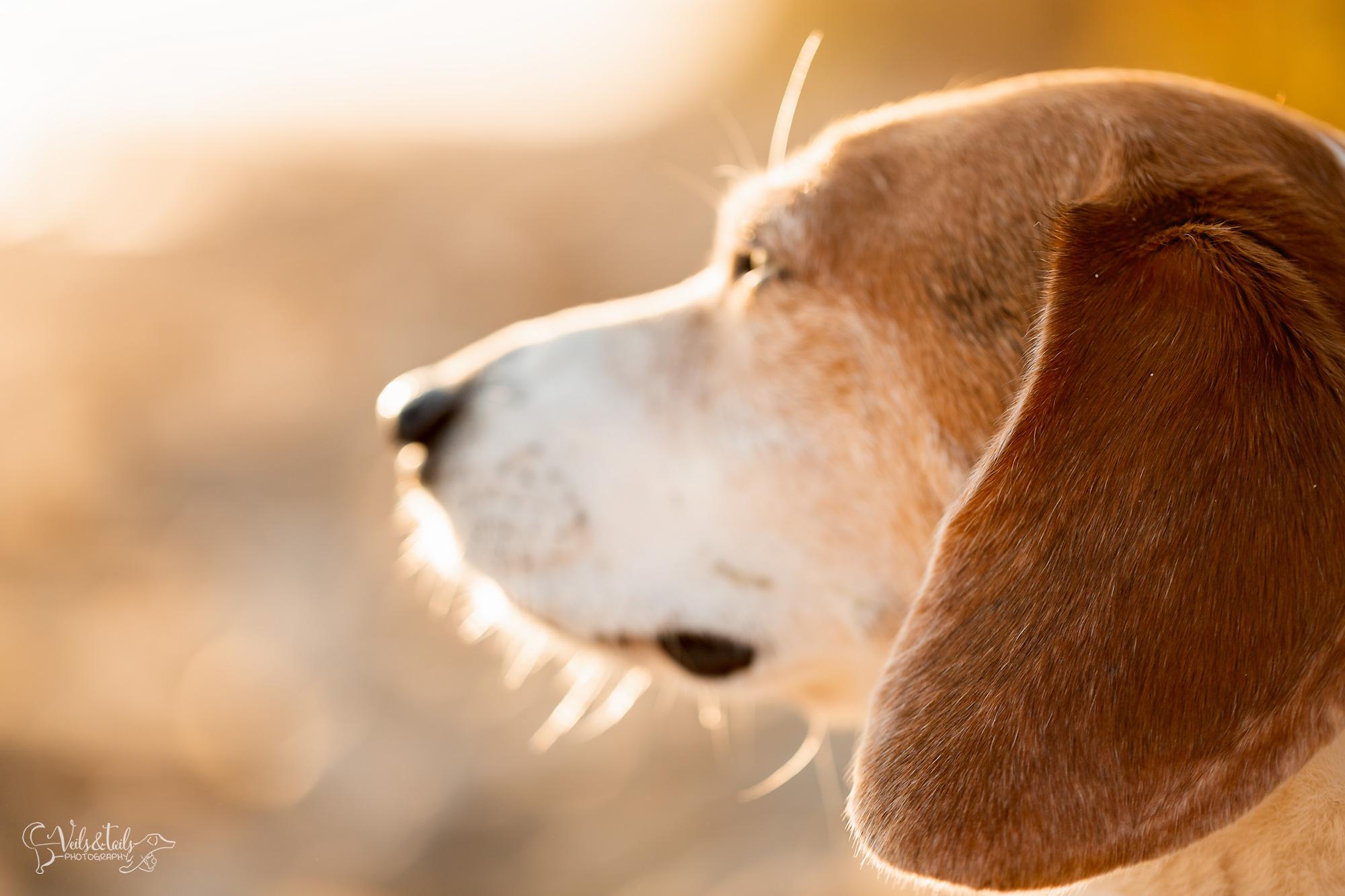 beagle photography santa barbara pet session