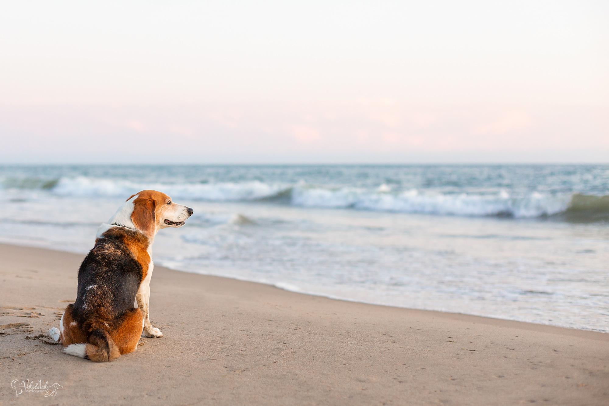 santa barbara beagle dog photographer on the beach