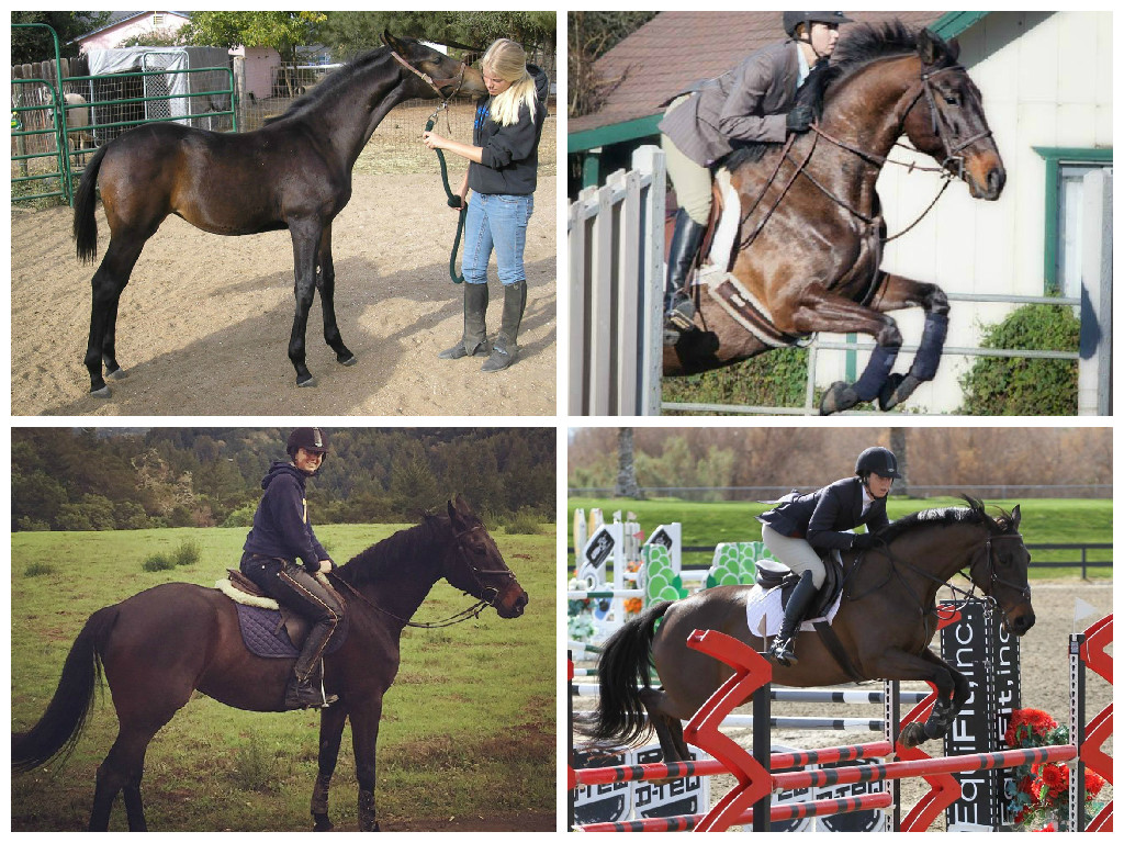 Kiva. Top left as a foal. Top right at her first (schooling) show in March 2013. Bottom left after a conditioning gallop up a hill. Bottom right in the 1.20m in February 2015.