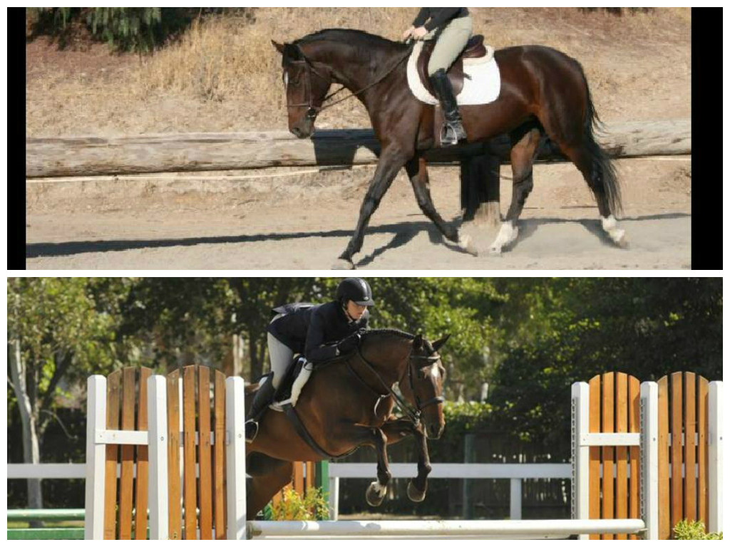 Fiora. Top is one of Fiora's first rides under saddle. Bottom is competing in the Low Hunters.